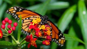 Monarch after several battles desktop wallpapers