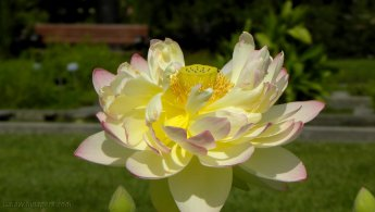 Lotus flower in all its beauty desktop wallpapers