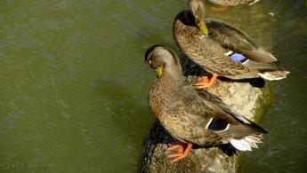 Ducks grooming on a tree trunk desktop wallpapers