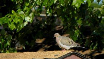 Mourning Doves desktop wallpapers