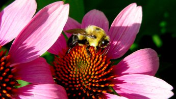 Bumblebee on Echinacea in the sunlight desktop wallpapers