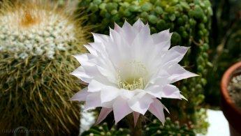 Beautiful cactus white flower desktop wallpapers
