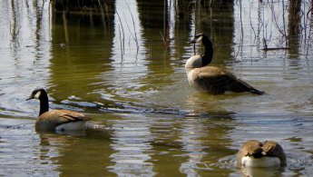 Canada Geese in shallow water desktop wallpapers