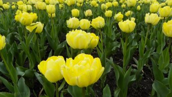 Bright yellow tulips desktop wallpapers