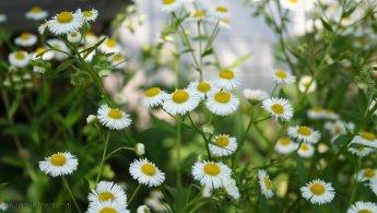 Flowers like little white suns desktop wallpapers