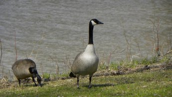 Canada geese eating the first grass of spring desktop wallpapers