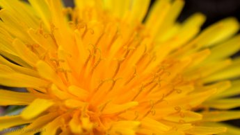 Dandelions desktop wallpapers