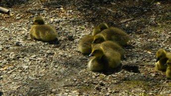Canada Goose goslings desktop wallpapers
