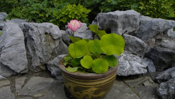 Emerging Lotus in a pot desktop wallpapers