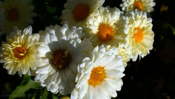 Flowers with white petals absorbing the first sunrays desktop wallpapers