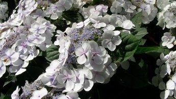 Very bright white flowers desktop wallpapers