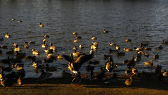 Ducks and Canada geese just before winter desktop wallpapers