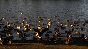 Canards et Bernaches du Canada juste avant l'hiver fonds d'écran gratuits