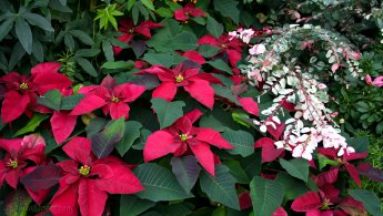 Poinsettias desktop wallpapers