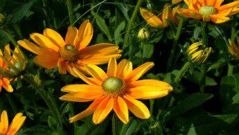 Bright flowers like suns desktop wallpapers