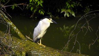 Black-crowned Night-Heron waiting on a fallen tree desktop wallpapers