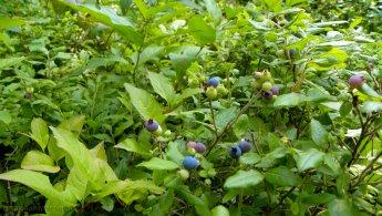 Lowbush blueberries in the nature desktop wallpapers