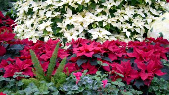 Poinsettias in white and red desktop wallpapers