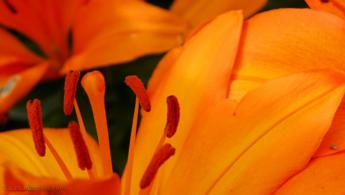 Daylily close up desktop wallpapers