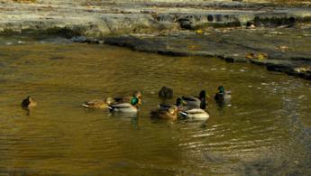 Groupe de Colvert relaxant sur l'eau fonds d'écran gratuits