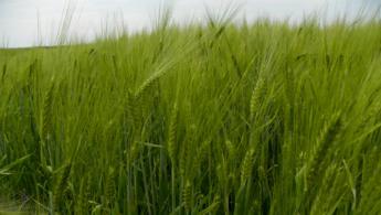 Green wheat desktop wallpapers