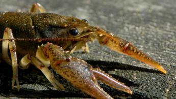 Close-up on a crayfish desktop wallpapers