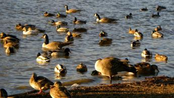 Oies et canards relaxant au cours de leur migration fonds d'écran gratuits